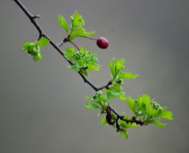 One berry and new leaves