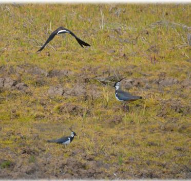 Peewit or lapwing (composite)