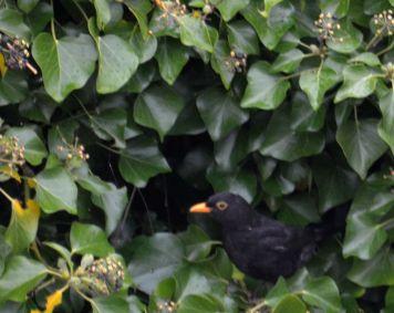 Blackbird in ivy