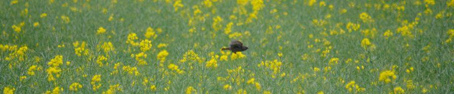 Dunnock across the Oilseed rape