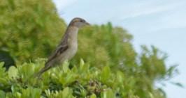 Sparrow (?)