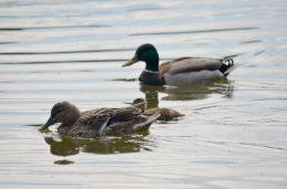 Mallard pair with chick