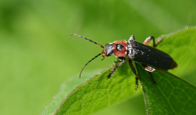 Close up of a sailor beetle
