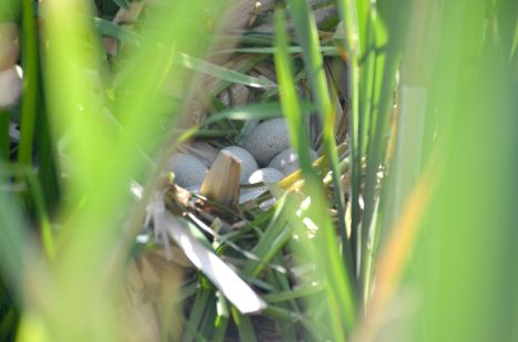 coot nest with eggs
