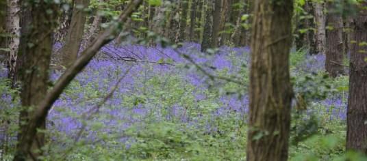 Bluebells carpeting Spring Wood