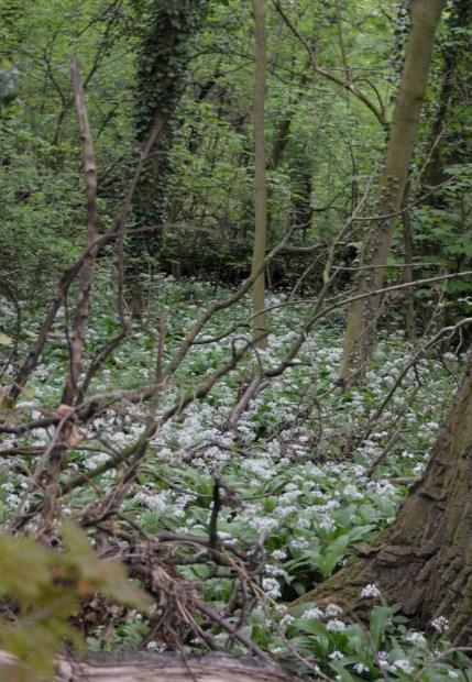 Ramsons turning the greenery white
