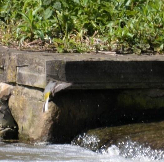 Gray wagtail