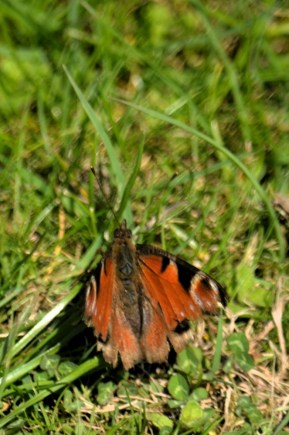 Old peackock butterfly