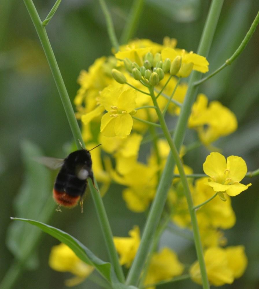 Oilseed with bee