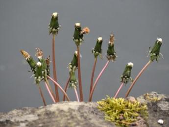 Ex-dandelions over water