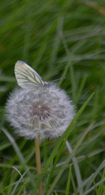 Green veined white on dandelion seeds