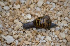 Snail crossing the new path