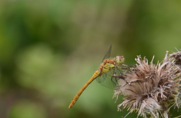 Dragon on thistle seeds