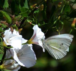 Small white on convolvulus