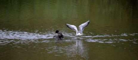 Tufty and gull