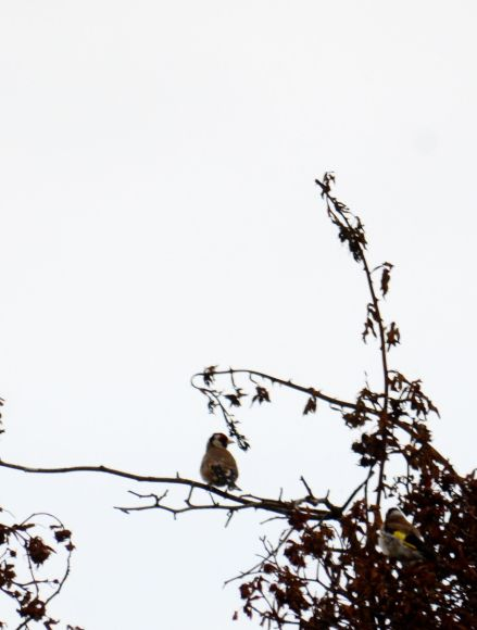Gooldfinches in the tree top