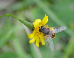 Small flower with large pollinator