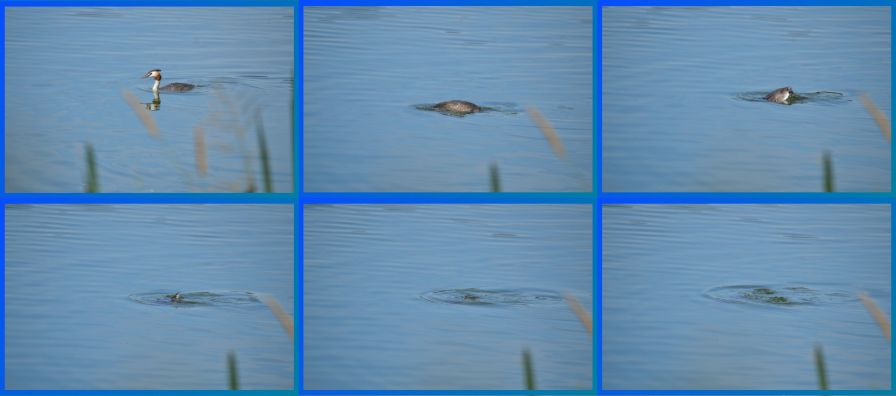 Diving Grebe