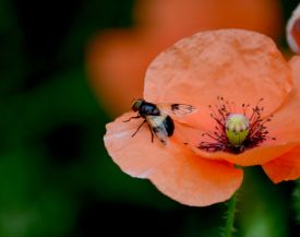 Bee or hoverfly?