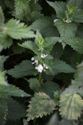 DSC_3411Dead nettle still blooming