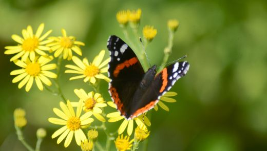 Ragwort with red admiral