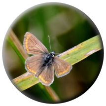 Common Blue female or Argus