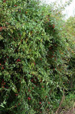 Woody nightshade hedge