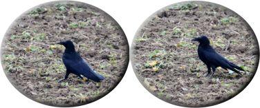 Crow (raven?)