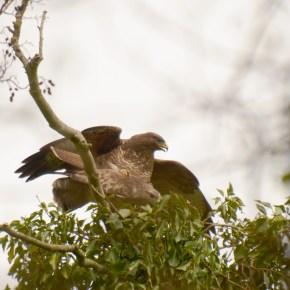 Buzzards