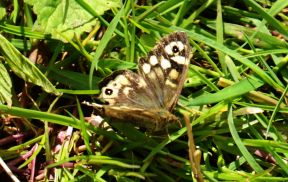 Tatty Speckled Wood