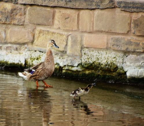 Duckling catching fly