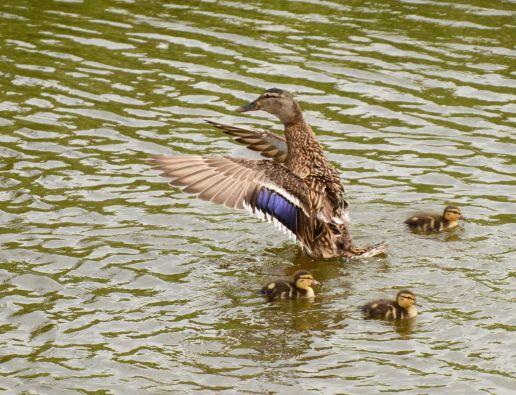Duck-lings