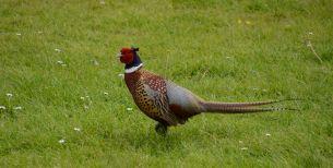 Herr pheasant