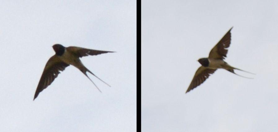 Swallow - twice