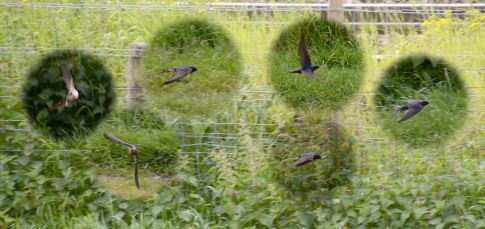 15 0603 105Low flying swallow