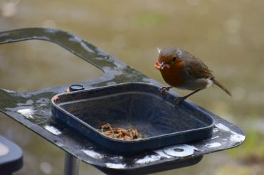 Robin stealing from an angler
