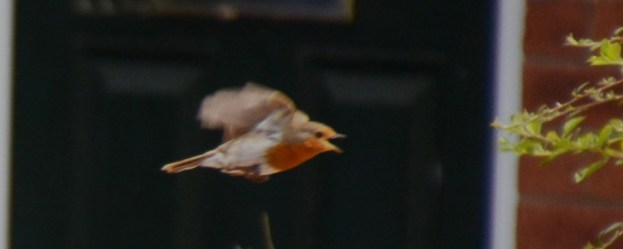 Robin departing with haste