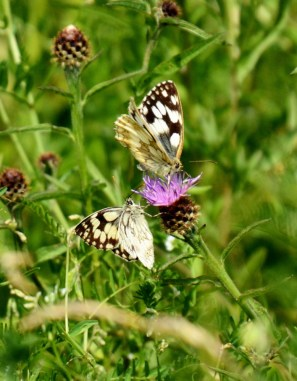 Marbled whites sharing a meal