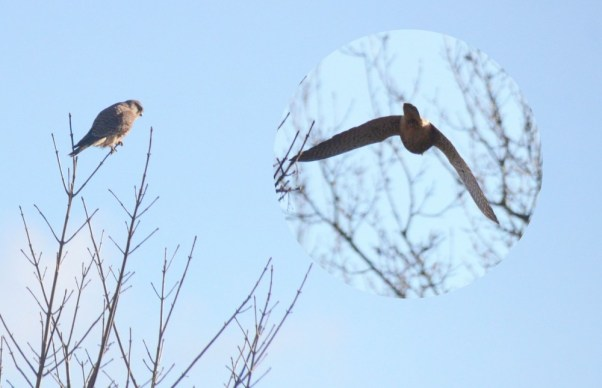 Kestrel perched and departing
