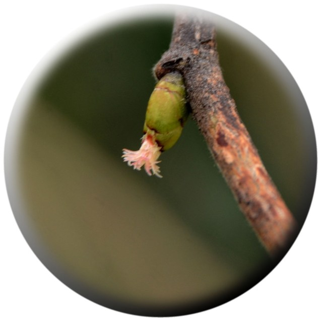 Female hazel flower