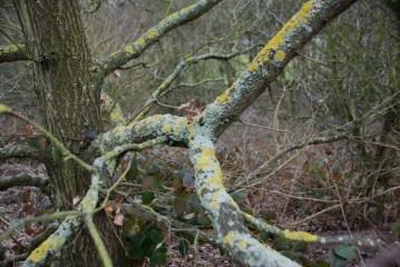 Licheny oak