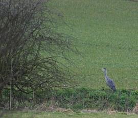 River bank heron