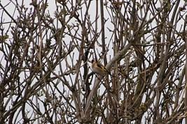 Goldfinch across the cut