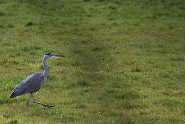 Heron strolling along