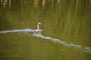 Departing grebe
