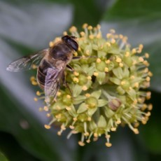 Bee Ivy