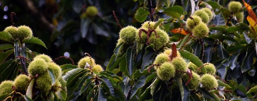 Chestnuts in situ