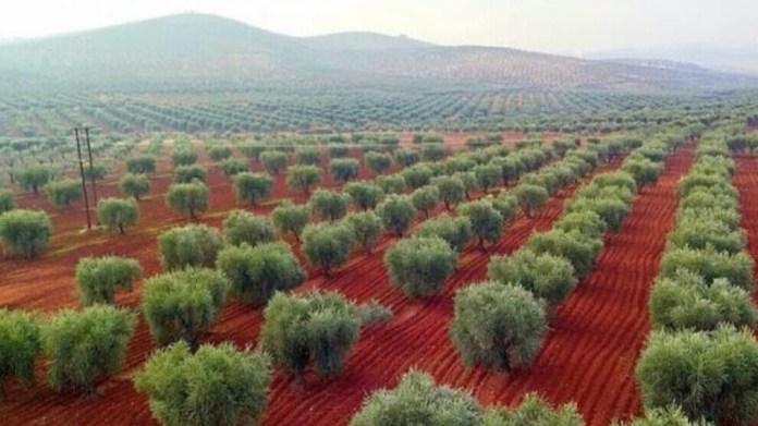 Les oliviers d'Afrin pilléspar l'État turc