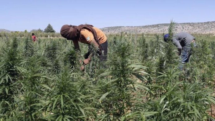 Des groupes mercenaires de l'armée nationale syrienne soutenus par la Turquie plantent du cannabis dans les fermes du district de Rajo à Afrin.