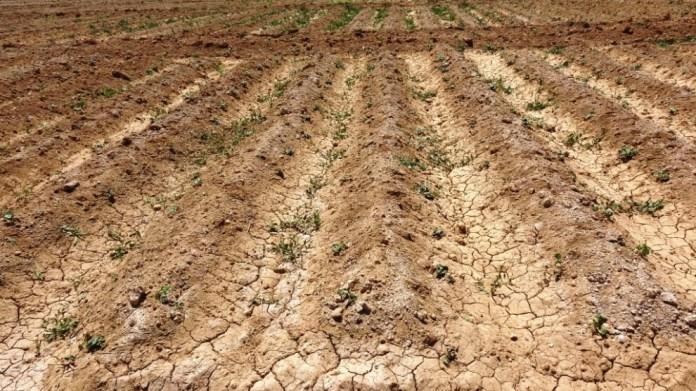 Les responsables de la direction de l'agriculture de Girê Spî (Tall Abyad) ont déclaré que la production agricole de Girê Spî avait diminué de 50 % en raison de la saison sèche et de l'abaissement du niveau d'eau de l'Euphrate.